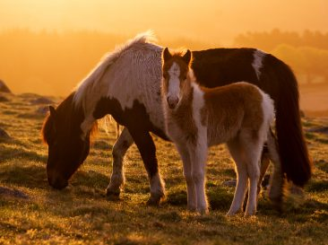 Sunrise lighting a Datmoor pony foal and mum