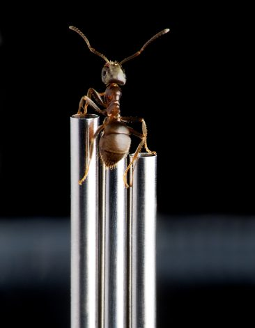 Tiny tubes photographed with ant for scale