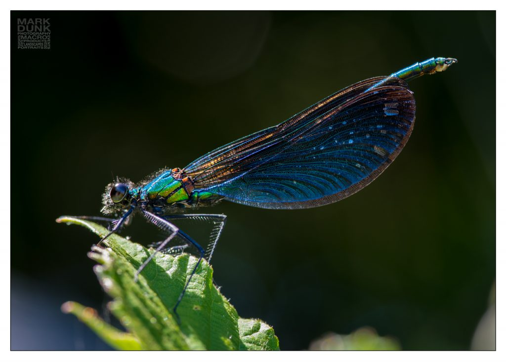 emerald damselfly photographed in the field