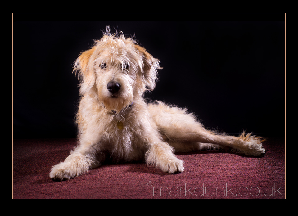 Labradoodle - Pet photography in the studio